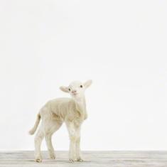 Lamb No