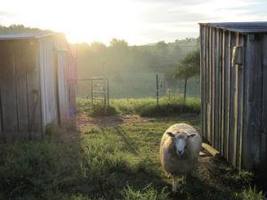 Farmarazzi Sheep